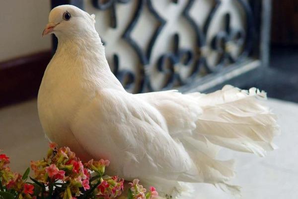 Белый голубь сел на подоконнике