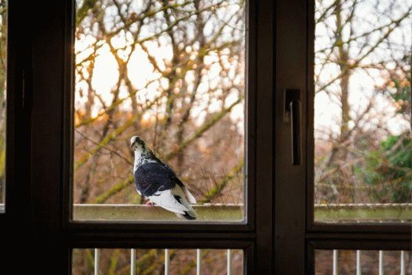 Голубь постучал в окно