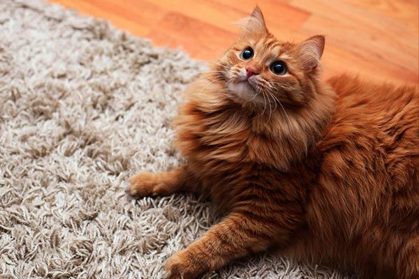Характер и темперамент рыжего кота