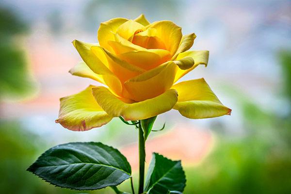Когда можно смело дарить желтые розы