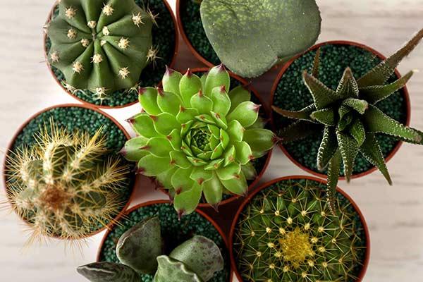 Немного о кактусах