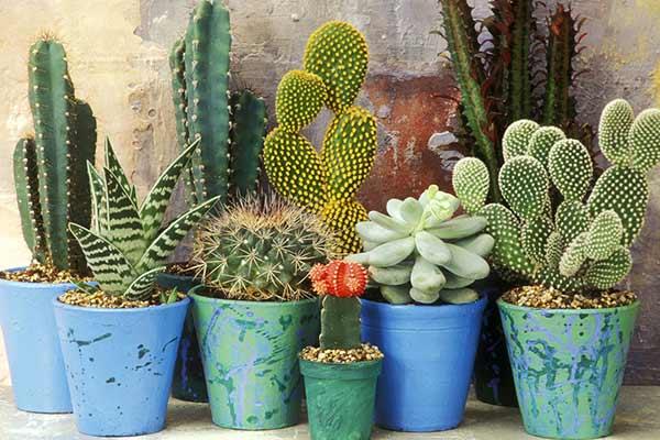 Отрицательные приметы о кактусах