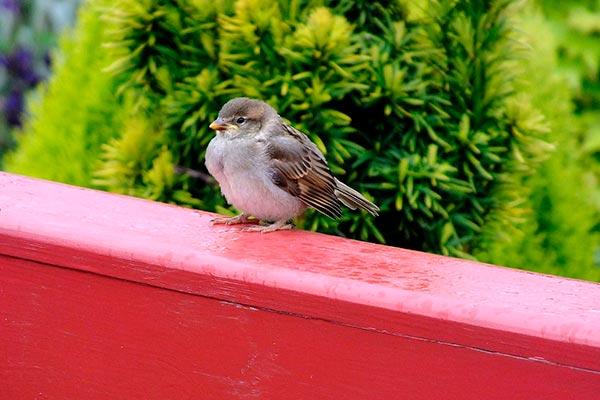 Птица гуляющая по балкону