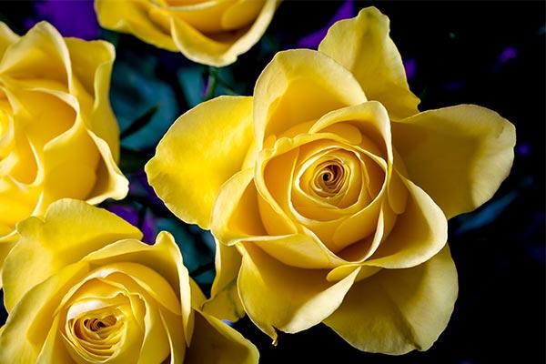 Суеверное толкование про желтые розы