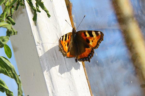 Если бабочка залетела внутрь квартиры или дома