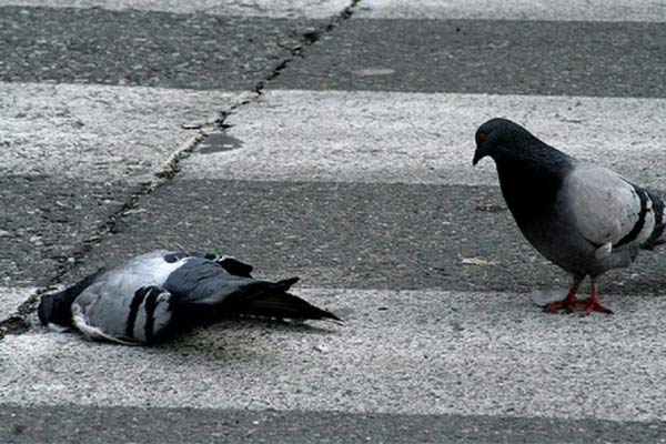 Мертвый голубь: значение приметы