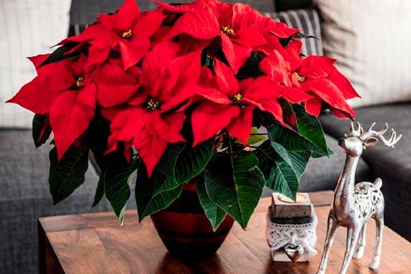 Можно ли дома держать рождественский цветок пуансеттию