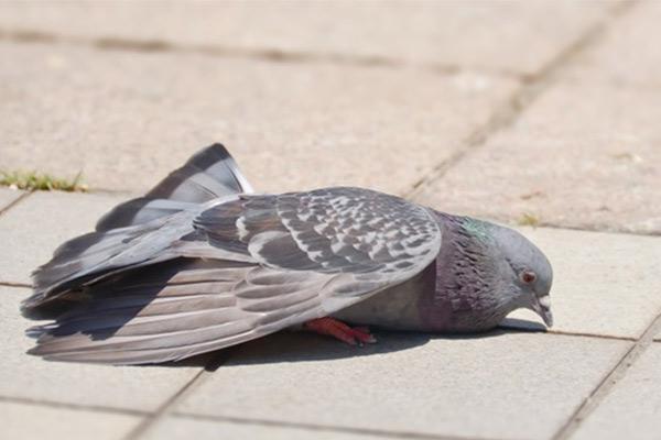 Особенности толкования в зависимости от окраса голубя